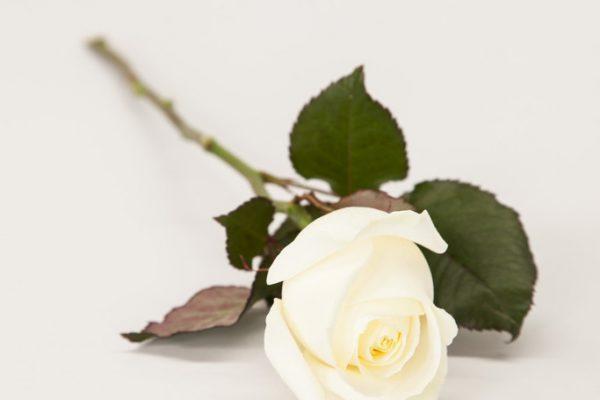 Single White Naomi Rose. From €4.