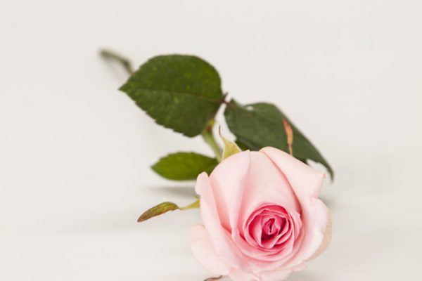 Single pink Rose. From €4.